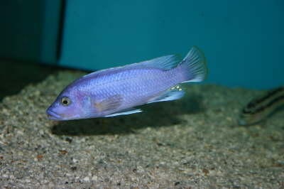 Melanochromis northern blue F1